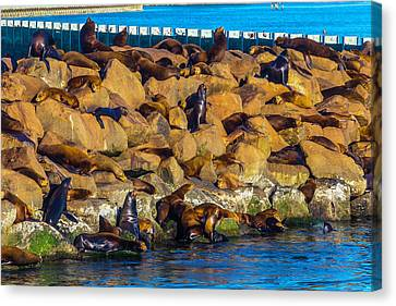 Seals On Jetty Rocks Canvas Print by Garry Gay