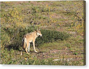 Searching Wolf Canvas Print by David Wilkinson