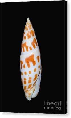 Seashell In Fishnet Canvas Print by Bill Brennan - Printscapes