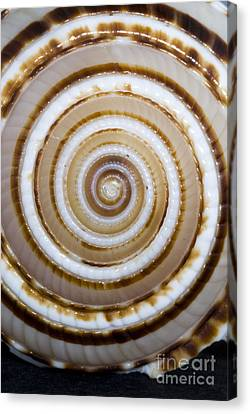 Seashell Spirals Canvas Print by Bill Brennan - Printscapes
