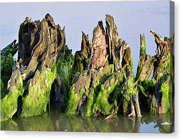 Seaweed-covered Beach Stump Canvas Print by Bruce Gourley
