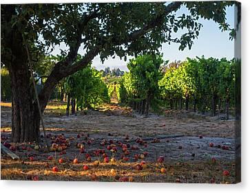 Sebastopol Tree And Vineyard Sebastopol Ca Canvas Print by Toby McGuire