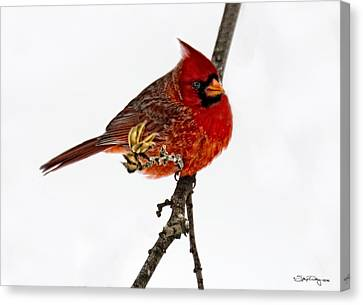 Second Cardinal Canvas Print