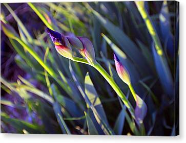 Second Iris Blooms 2015 Canvas Print by Tina M Wenger