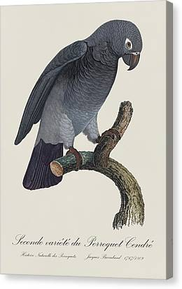 Seconde Variete Du Perroquet Cendre / Timneh Grey Parrot - Restored 19th C. Illust. By Barraband Canvas Print by Jose Elias - Sofia Pereira
