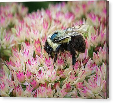 Canvas Print featuring the photograph Sedum Bumbler by Bill Pevlor