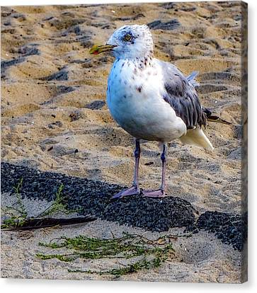 See The Gull Canvas Print