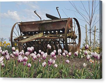 Seed Drill Tulips Canvas Print by Brent Easley