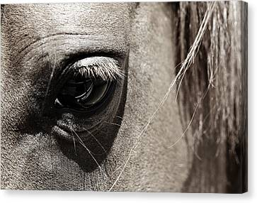 Stillness In The Eye Of A Horse Canvas Print by Marilyn Hunt