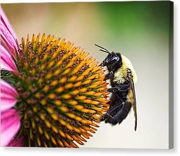 Seeking Nectar Canvas Print