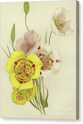 Sego Lily   Calochortus Canvas Print by English School