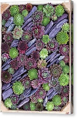 Sempervivums Pattern Canvas Print by Tim Gainey