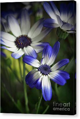 Senetti On A Warm Spring Day 2 Canvas Print by Dorothy Lee