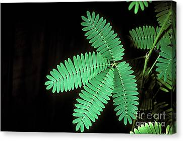Sensitive Mimosa Before Stimulation Canvas Print by John Kaprielian