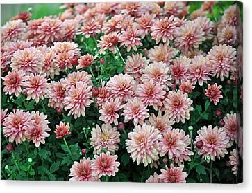 Sentimental Surprise Chrysanthemum Canvas Print by Debra  Miller