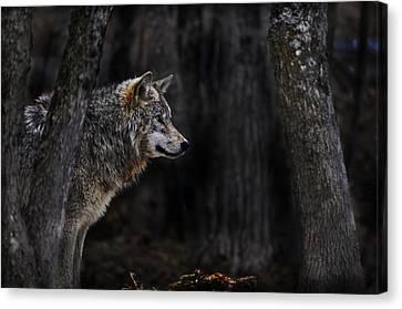 Wolf Pics Canvas Print - Sentinel by Michael Cummings
