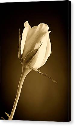Sepia Rose Bud Canvas Print by M K  Miller