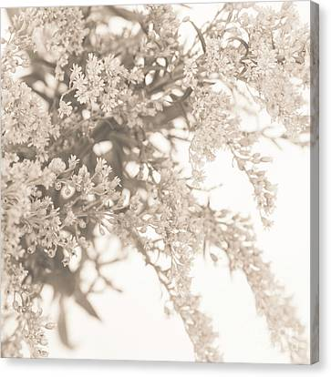 Sepia Solidago 3 Canvas Print by Anne Gilbert