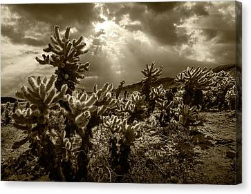 Canvas Print featuring the photograph Sepia Tone Of Cholla Cactus Garden Bathed In Sunlight by Randall Nyhof