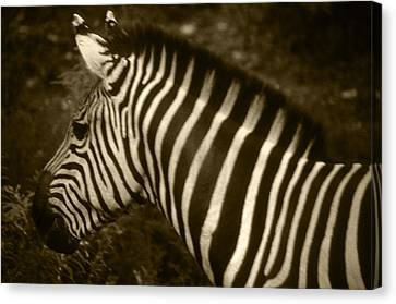 Sepia Zebra Canvas Print by Greg Slocum
