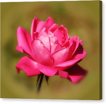 September Rose Up Close Canvas Print