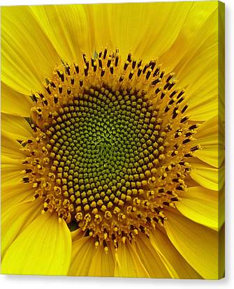 Canvas Print featuring the photograph September Sunflower by Richard Cummings