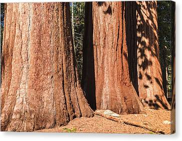 Sequoia Canvas Print