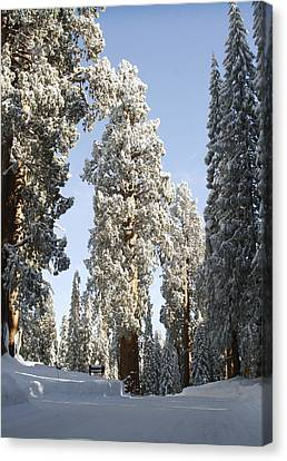 Sequoia National Park 4 Canvas Print
