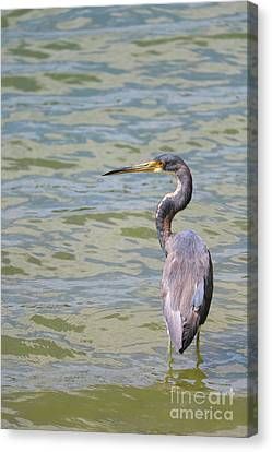 Serene Tricolored Heron Canvas Print