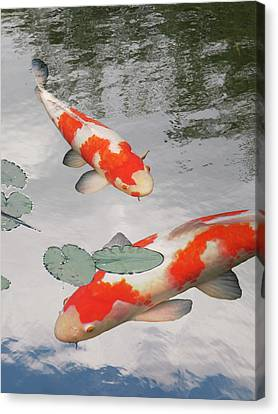 Canvas Print featuring the photograph Serenity - Red And White Koi by Gill Billington
