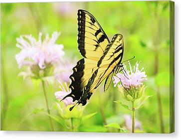 Series Of Yellow Swallowtail #4 Of 6 Canvas Print