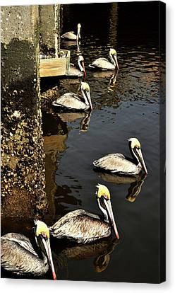 Seven Pelicans Canvas Print