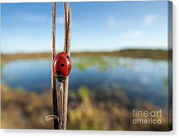Beetle Canvas Print - Seven-spotted Lady Beetle IIi by Clarence Holmes