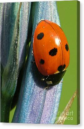 Seven Spotted Lady Beetle Canvas Print