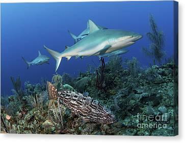 Several Caribbean Reef Sharks Canvas Print by Mathieu Meur
