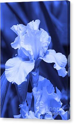 Shades Of Blue Iris  Canvas Print by Cathy  Beharriell