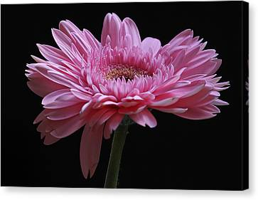 Shades Of Pink Canvas Print by Juergen Roth