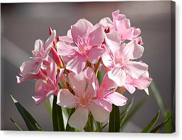 Shades Of Pink Canvas Print by Susan Heller