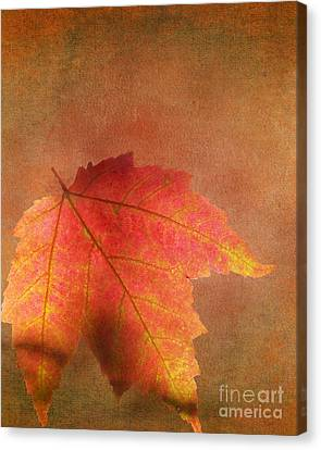 Shadows Over Maple Leaf Canvas Print by Kathi Mirto