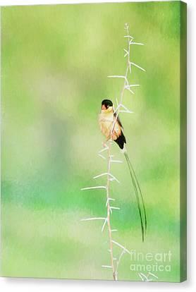 Shaft Tailed Whydah Vidua Regia Canvas Print by Liz Leyden