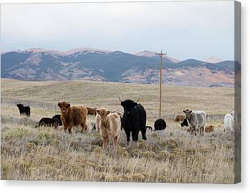 Canvas Print featuring the photograph Shaggy-coated Cattle Near Jefferson by Carol M Highsmith