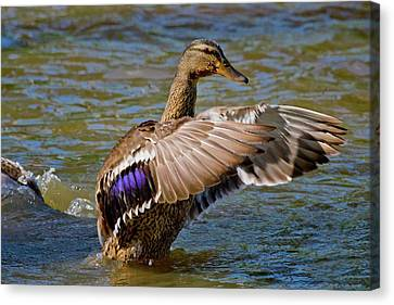 Canvas Print featuring the photograph Shake It Off by Linda Unger