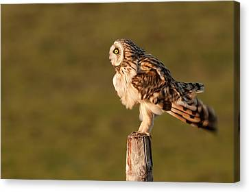 Shaking Short-eared Owl Canvas Print by Roeselien Raimond