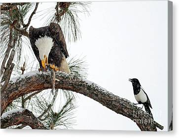 Black-billed Magpie Canvas Print - Share The Wealth by Mike Dawson