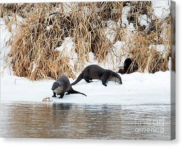 Otter Canvas Print - Sharing A Meal by Mike Dawson