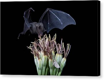 Sharing With The Moth Canvas Print by E Mac MacKay