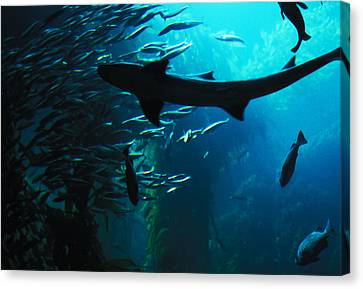 Canvas Print featuring the photograph Shark Above by Carl Purcell