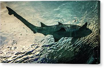 Shark Fins Canvas Print by Martin Newman