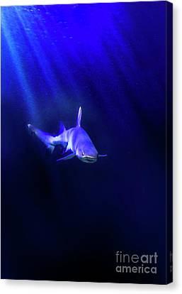 Shark Canvas Print by Jill Battaglia