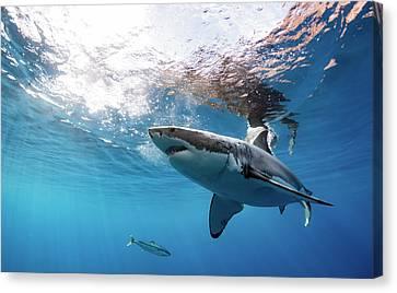 Shark Rays Canvas Print by Shane Linke